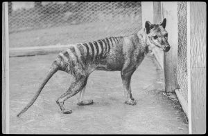 Thylacine at Beaumaris Zoo, 1936