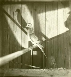 Passenger Pigeon profile view with shadow